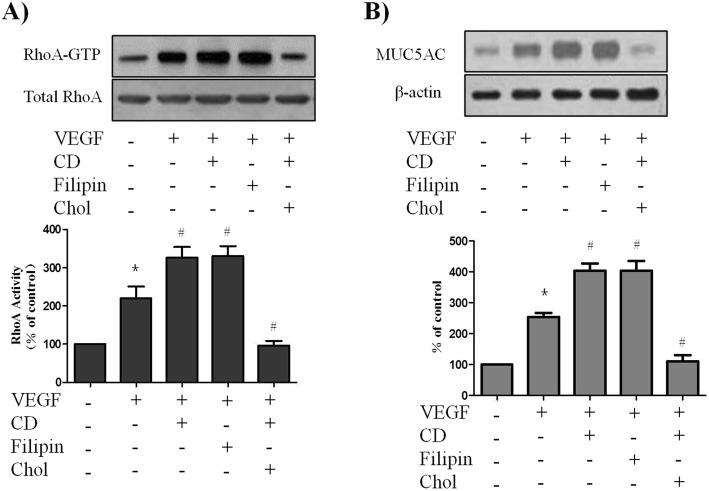 Caveolar disruption enhanced the VEGF-induced RhoA activation and MUC5AC up-regulation. PBECs were treated with VEGF (50 ng/ml) in the presence or absence of pretreatment with the caveolar-disrupting agent cyclodextrin (CD; 5 mM, 30 min) or filipin (2.5 g/ml, 30 min). Reversal of drug effects was sought with simultaneous cholesterol repletion (Chol; 15 g/ml) given at the time of cyclodextrin administration. RhoA activity was assessed by pull-down assay of GTP-bound RhoA (24 kDa) as described in Method (A). MUC5AC protein levels were assessed by Western blot (B). All data are representative of three independent experiments. The blots were quantified by densitometry. Values represent the means ± SEM. * P