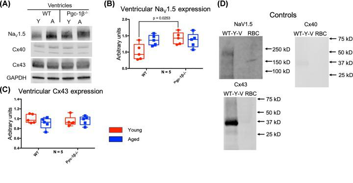 WB analysis of ventricular Na V 1.5 and Cx43 expression ( A ) Representative Western blots of Na V 1.5, Cx40, Cx43 and the housekeeping protein GAPDH, used as loading control. ( B ) Expression levels of ventricular Na V 1.5 obtained by densitometric analysis. ( C ) Expression levels of ventricular Cx43 obtained by densitometric analysis. In (B,C), red boxes indicate young mice and blue boxes indicate aged mice. ( D ) Control blots using lysed WT young atria or erythrocytes (RBC) together with the indicated primary and secondary antibodies. Primary monoclonal rabbit anti-Na V 1.5 antibody used at dilution 1:500; polyclonal goat anti-Cx40 antibody used at dilution 1:500; polyclonal rabbit anti-Cx43 used at dilution 1:1000; polyclonal rabbit anti-GAPDH used at dilution 1:1000. Secondary donkey anti-goat IgG antibody used at dilution 1:15000 in blots staining for Cx40, and donkey anti-rabbit IgG antibody used at dilution 1:10000 in blots staining for Na V 1.5, Cx43 and GAPDH. Significant P -values obtained by post-hoc testing with Tukey's HSD tests are indicated. Abbreviations: A, aged; N, number of biological replicates per experimental group; RBC, erythrocyte; WT-Y-V, wild type young ventricular.