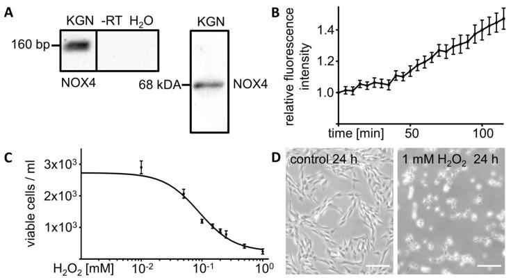 H 2 O 2 production and release by cultured KGN cells and effects of exogenous H 2 O 2 . ( A ) NOX4 RT-PCR analysis and Western blot of cultured KGN cells show single bands of 160 bp and 68 kDa, respectively. Controls using RNA (-RT) or H 2 O instead of cDNA (H 2 O) were negative. ( B ) Hydrogen peroxide assay of untreated KGN cells showed increasing H 2 O 2 levels in the supernatant over a time period of 2 h ( n = 6). Signal intensities were normalized to start point values. Bars indicate SEM. ( C ) Exogenously added H 2 O 2 reduced cell viability in a dose dependent manner. Cell counts after treatment of KGN cells with different concentrations of H 2 O 2 for 24 h ( n = 2–5 for each concentration) are shown with an interpolated sigmoidal standard curve ( r 2 = 0.9361). Bars indicate SEM. ( D ) Images of KGN cells treated with H 2 O 2 (1 mM) for 24 h compared to untreated control cells. Scale bars indicate 200 µm.
