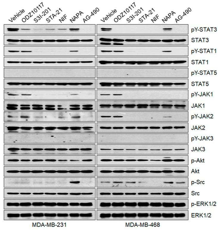 ODZ10117 does not affect other STAT family members and upstream regulators of STAT3. Cells were incubated for 16 h with vehicle (0.1% DMSO) alone, ODZ10117 (ODZ, 40 μM) or the known STAT3 inhibitors S3I-201 (100 μM), STA-21 (100 μM), nifuroxazide (NIF, 100 μM), napabucasin (NAPA, 4 μM), or AG-490 (150 μM), and then performed immunoblot analysis.