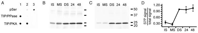Immunodetection of PvTIP3;1 phosphorylated at Ser7. ( A ) Dot blots of a phosphoserine-bearing protein mix (pSer) and of purified PvTIP3;1 treated with either lambda protein phosphatase (TIP/PPase) or protein kinase A catalytic subunit (TIP/PKA). Blots were immunolabeled with aTIPnt13C (lane 1), aTIPnt13C_S7P (lane 2), or phosphoserine (lane 3) antisera to test antibody specificity. Western immunoblots using ( B ) aTIPnt13C or ( C ) aTIPnt13C_S7P antisera. Blot lanes: IS, immature seed; MS, mature seed; DS, dry seed; 24, seed imbibed for 24 h; 48, seed imbibed for 48 h. Position of molecular weight markers (bars) with kDa values indicated to the right of panel C . ( D ) Graph showing ratio of aTIPnt13C_S7P to aTIPnt13C antisera labeling. Results displayed as the average of four experiments ± one standard deviation of the sample, normalized so that the labeling ratio is 1:1 for the dry seed fraction. Horizontal axis indicates seed fractions as in B and C .
