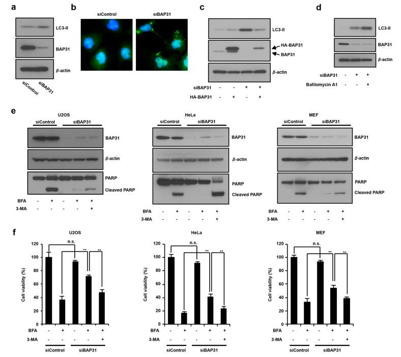 The suppression of BAP31 expression induces autophagy and antagonizes ER stress-induced cell death. ( a ) Loss of BAP31 increases LC3-II expression. U2OS cells were transfected with 150 pmol of siBAP31 or siControl for 24 h. Cells were subjected to immunoblotting using anti-BAP31, anti-LC3, and anti-β-actin antibodies. ( b ) U2OS cells stably expressing GFP-LC3 were transfected with 150 pmol of siBAP31 or siControl for 24 h. Cells were fixed with 4% PFA, and GFP-LC3 (green) fluorescence was determined. Blue represents nuclear DAPI staining. Scale bar, 10 μm. ( c ) U2OS cells were transfected with siBAP31 (+) or siControl (−) for 18 h and then transfected with HA-BAP31 (+) or pcDNA3.1 (−) for 12 h. Cells were subjected to immunoblotting using indicated antibodies. ( d ) BAP31 knockdown stimulates autophagosome synthesis. U2OS cells were transfected with 150 pmol of siBAP31 or siControl for 24 h, followed by treatment with or without 1 µg/mL of bafilomycin A1 for 1 h. Cells were subjected to immunoblotting using the indicated antibodies. ( e , f ) The suppression of BAP31 inhibits ER stress-mediated cell death by inducting autophagy. The cells were transfected with siBAP31 or siControl for 16 h and these cells were preincubated with or withou t 5 mM of 3-MA for 1 h and further incubated with or without BFA (1 µg/mL) for 18 h in U2OS, HeLa, and MEF cells. Cells were subjected to immunoblotting using the indicated antibodies ( e ) or MTT using cell viability assay ( f ). These experiments were repeated two times ( a – e ). Data are presented as the mean ± standard deviation (SD) of the three simultaneously performed experiments ( f ). P values were calculated using two-way ANOVA; n.s., not significant; ** P