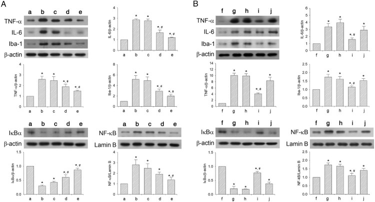 Effect of dexmedetomidine on inflammatory mediators and Iba-1 expression in the hippocampus. A: Evaluation of dose-dependent effects of dexmedetomidine on inflammatory mediators ( n = 8). (a) Control group, (b) sleep deprivation group, (c) sleep deprivation and 5 μg/kg dexmedetomidine-treated group, (d) sleep deprivation and 10 μg/kg dexmedetomidine-treated group, (e) sleep deprivation and 20 μg/kg dexmedetomidine-treated group. B: Evaluation of effect of dexmedetomidine antagonist on inflammatory mediators ( n = 8). (f) Control group, (g) sleep deprivation group, (h) sleep deprivation 250 μg/kg atipamezole-treated group, (i) sleep deprivation and 20 μg/kg dexmedetomidine-treated group, (j) sleep deprivation and 250 μg/kg atipamezole-treated with 20 μg/kg dexmedetomidine-treated group. * represents P
