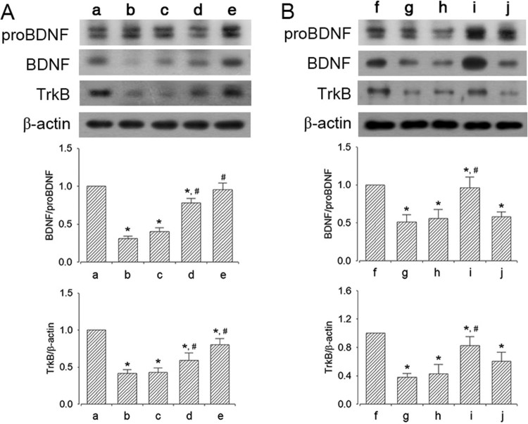 Effect of <t>dexmedetomidine</t> on BDNF and TrkB expression in the hippocampus. A: Evaluation of dose-dependent effects of dexmedetomidine on BDNF and TrkB expression ( n = 8). (a) Control group, (b) sleep deprivation group, (c) sleep deprivation and 5 μg/kg dexmedetomidine-treated group, (d) sleep deprivation and 10 μg/kg dexmedetomidine-treated group, (e) sleep deprivation and 20 μg/kg dexmedetomidine-treated group. B: Evaluation of effect of dexmedetomidine antagonist on BDNF and TrkB expression ( n = 8). (f) Control group, (g) sleep deprivation group, (h) sleep deprivation 250 μg/kg atipamezole-treated group, (i) sleep deprivation and 20 μg/kg dexmedetomidine-treated group, (j) sleep deprivation and 250 μg/kg atipamezole-treated with 20 μg/kg dexmedetomidine-treated group. * represents P