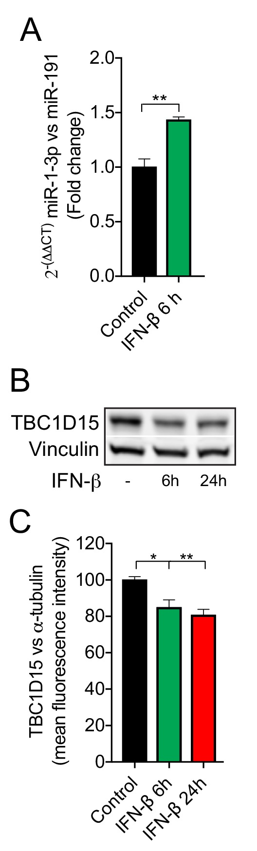 IFN-β regulates miR-1 and TBC1D15 expression in HeLa cells. ( A ) RT-PCR of miR-1–3 p normalized to miR-191 from HeLa cells treated with recombinant human IFN-β (1000 U/ml) for 6 hr (n=3).**p
