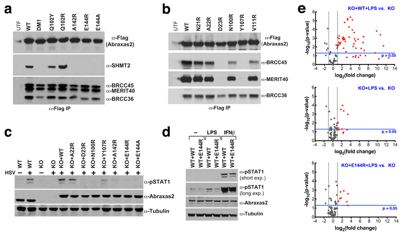 BRISC-SHMT2 interaction is important for interferon signaling a b) Immunoprecipitation (IP) was performed using anti-Flag antibody in 293T cells transiently transfected with Flag-HA epitope-tagged Abraxas2 wild-type (WT) or mutants. Immunoblotting was performed for the indicated proteins. c) Abraxas2 –/– MEFs and Abraxas2 –/– MEFs stably reconstituted with WT or mutants were infected with Herpes Simplex Virus (HSV) lacking the lytic phase gene ICP0. IFN signalling was assessed by immunoblotting for STAT1 phosphorylated at Y701 (pSTAT1). d) WT MEFs overexpressing Abraxas2 WT or E144R were challenged with LPS and IFNβ. IFN signaling was assessed as in c . Data in a - d are representative of three independent experiments. For gel source data, see Supplementary Figure 1 . e) Volcano plots illustrating the fold change in gene expression of IFN type I-stimulated genes relative to Abraxas2 –/– KO MEFs without LPS treatment. p-values were calculated using a Student's t-test (two-tail distribution and equal variances between the two samples) on the triplicate 2^(-ΔCT) values for each gene in each treatment group compared to the control group. Genes below the p=0.05 threshold were upregulated in WT+LPS, but represented as below statistical significance due to the relative expression in KO samples being almost zero. Regulated genes are highlighted in Extended Data Fig. 9a .