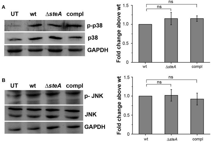 SteA does not affect the mitogen-activated protein (MAP)-kinase activation. (A,B) The phosphorylation levels of the MAP kinases p38 (A) and c-Jun N-terminal kinase (JNK) (B) remained unchanged upon infection with Δ steA as compared to the controls. RAW 264.7 cells were infected with wt, Δ steA , or compl strains at an multiplicity of infection (MOI) of 20:1, and whole-cell lysates were prepared after 30 min of infection. Whole-cell lysates were probed for phosphorylated levels of p38 and JNK by Western blots and densitometric analysis along with total p38 and JNK levels. Glyceraldehyde 3-phosphate dehydrogenase (GAPDH) was used as a loading control. For densitometric analysis, fold change was calculated with respect to wt. Bar graphs represent mean ± SEM from three independent experiments. p values were calculated using one-way ANOVA (* p