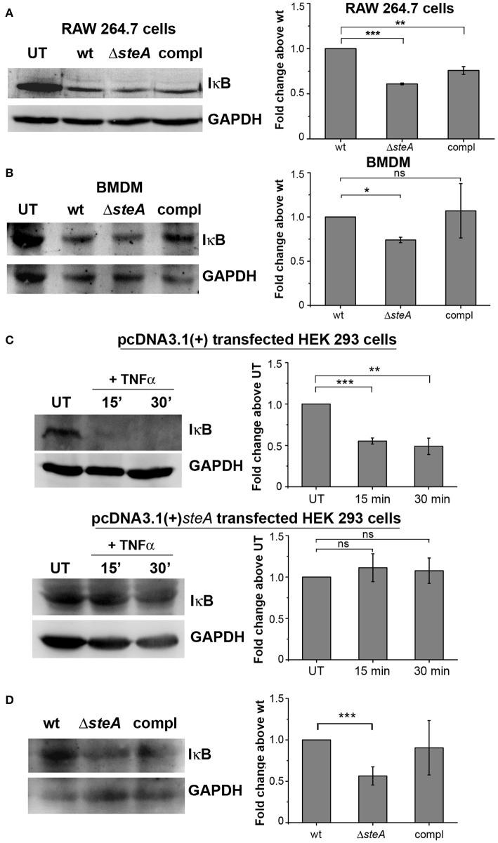 SteA hinders IκB degradation. (A,B) IκB degradation was higher in cells infected with Δ steA than the wt or compl in both RAW 264.7 cells (A) and bone-marrow-derived macrophages (BMDMs) (B) as shown by Western blot and densitometric analysis. RAW 264.7 cells and BMDMs were infected with wt, Δ steA , or compl at an multiplicity of infection (MOI) of 20:1 and 10:1, respectively, and whole-cell lysates were prepared after 30 min of infection. The levels of IκB were probed by Western blotting. (A,B) Glyceraldehyde 3-phosphate dehydrogenase (GAPDH) was used as a loading control in all the experiments. UT stands for untreated cells. For densitometric analysis, fold change was calculated with respect to wt. Bar graphs represent mean ± SEM from three independent experiments. p values were calculated using one-way ANOVA (* p