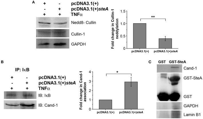 SteA suppresses the neddylation of Cullin-1 and the dissociation of Cand-1. (A) Neddylation of Cullin is suppressed in mammalian cells endogenously expressing SteA. HEK 293 cells were transfected with pcDNA3.1(+) steA or pcDNA3.1(+) empty plasmid. After 24 h of transfection, whole-cell lysates were prepared following 30 min of tumor necrosis factor alpha (TNFα) stimulation and analyzed by Western blotting using anti-nedd8-Cullin and anti-Cullin-1 antibodies and densitometry. Glyceraldehyde 3-phosphate dehydrogenase (GAPDH) was used as a loading control. (B) Cand-1 dissociation from SCF-E3 complex localized at IκB is decreased in the presence of SteA. HEK 293 cells were transfected with pcDNA3.1(+) steA or pcDNA3.1(+) empty plasmid. After 24 h of transfection, whole-cell lysates were prepared following 20 min of TNFα stimulation in the presence of proteasomal inhibitor (MG132) and immunoprecipitated with anti-IκB antibody. Cand-1 association was analyzed by Western blotting and densitometry. (A,B) For densitometric analysis, fold change was calculated with respect to empty plasmid transfected cells. Bar graphs represent mean ± SEM from three independent experiments. p values were calculated using Student's t test [* p
