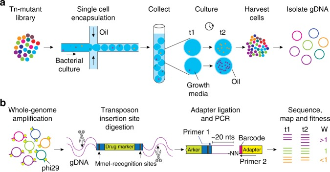 Schematic overview of droplet Tn-Seq. a A microfluidic device encapsulates single bacterial cells into droplets containing growth medium. Bacteria are allowed to grow within droplets, genomic DNA (gDNA) is isolated at the start of the experiment (t1) and after growth (t2). Importantly, while growth for each transposon mutant takes place in isolation, gDNA is isolated from the pooled population, enabling screening of all mutants simultaneously. b gDNA is then amplified with DNA polymerase phi29, digested with MmeI, an adapter is ligated, a ~180 bp fragment is produced which contains ~16 nucleotides of bacterial gDNA, defining the transposon-insertion location, followed by Illumina sequencing. Reads are demultiplexed based on the barcode in the adapter and a potential second barcode in primer 1, mapped to the genome, and fitness is calculated for each defined region.