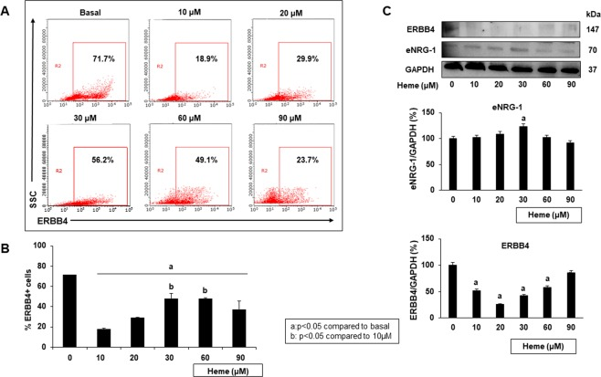 Heme treatment affects ERBB4 and NRG-1 expression in iPSCs. iPSCs were treated with heme for 18 hours. The number of cells positive for ERBB4 was assessed using flow cytometry analysis. The ERBB4 and endogenous NRG-1 (eNRG-1) protein expression levels were determined using Western blotting. ( A ) Representative flow cytometry results illustrating the percent of iPSCs that express ERBB4. ( B ) The number of cells positive for ERBB4 increased as the heme-induced injury level increased. ( C ) Cell lysates from iPSCs treated with various heme doses were immunoblotted for ERBB4 and NRG-1. Western blot densitometry analysis was performed using the ImageJ program (full blots are shown in the Supplementary Information file, Supplementary Fig. S1 ). The results show that NRG-1 expression levels increased as the heme concentration increased, while ERBB4 expression decreased in a similar manner (a: p