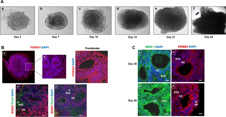 Human cortical organoids express ERBB4 and NRG-1. ( A ) The development of human cortical organoids. (a) Embryoid bodies. (b) Induction towards a neuronal fate. (c) The development of neuroepithelia. (d,e). Organoid maturation. (f) Forebrain structure within organoids (arrow) becomes evident after 40 days. ( B ) Representative sections of whole 20-day cortical organoids (a) and the inside of (b) cortical organoids stained for FOXG1 showing forebrain identity with structures displayed around the organoid core. At 40 days (c), FOXG1 staining was similar. SOX-2 (a neural stem cell marker) (red) and TUJ1 (a neuronal specific marker) (green) staining in cortical organoids at 20 (d) and 40 (e) days. ( C ) Cortical organoids expressed NRG-1 (a,b) and ERBB4 (c,d) at 20 and 40 days, respectively. Scale bar: 20 µm.