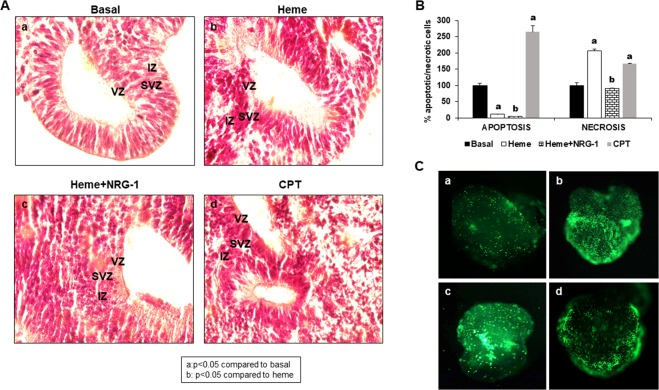 Heme modifies 20-day-old cortical organoid architecture by inducing early apoptosis and necrosis in its cells. Cortical organoids were treated with heme for 8 hours, and NRG-1 was then added for 18 hours. CPT treatment was used as a positive control for cell apoptosis. The results showed ( A ) that, compared to no treatment (a), heme induced the disorganization of cerebral organoid structure (b). NRG-1 improved the heme-induced lesion (c). CPT, used as a positive control for apoptosis, induced similar disorganization of cortical organoids (d). In addition, the apoptosis assay showed that heme increased cell necrosis in cortical organoids ( B ), while NRG-1 treatment reduced the injury. Representative images of cortical organoids ( C ) reinforcing the conclusion that heme had a toxic effect (b) compared to basal conditions, while NRG-1 had a protective role (d) compared to heme treatment (b). CPT also induced cell death compared to untreated condition (c) (a: p