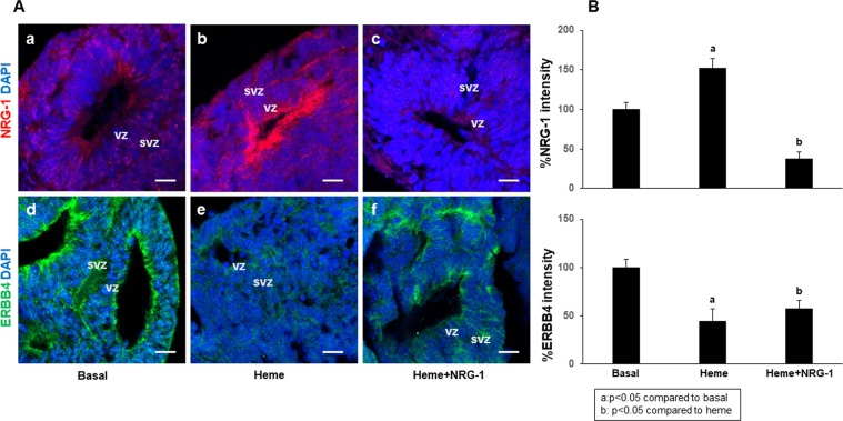 Heme induces NRG-1 and reduces ERBB4 expression in the forebrain structures of human organoids (20 days in culture). Cortical organoids were treated with heme for 8 hours, and NRG-1 was then added for 18 hours. The results showed that, compared to no treatment (a), heme induced NRG-1 expression. (b) The addition of NRG-1 to the treatment reduced its endogenous expression due to an improvement in cell injury. (c) ERBB4 expression decreased with heme treatment (e) compared to no treatment. (d) The addition of NRG-1 increased the levels of ERBB4 (f) compared to that induced by heme alone (e) but not compared to basal levels. (d) Scale bar: 20 µm.