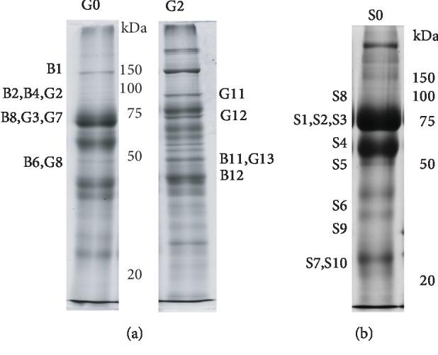 """Representative image of proteins from MFGM (a) and skimmed milk (b) fractions of colostrum (0) and/or mature milk (2) after SDS-PAGE separation. The name of bands analyzed by mass spectrometry is reported beside each lane. Bands labelled with """"B"""" were digested from PVDF blots, while """"G"""" bands were digested from polyacrylamide gels. S1 was digested from polyacrylamide gels, and S2, S3, S4, S5, S6, S7, S8, S9, and S10 were digested from PVDF blots."""