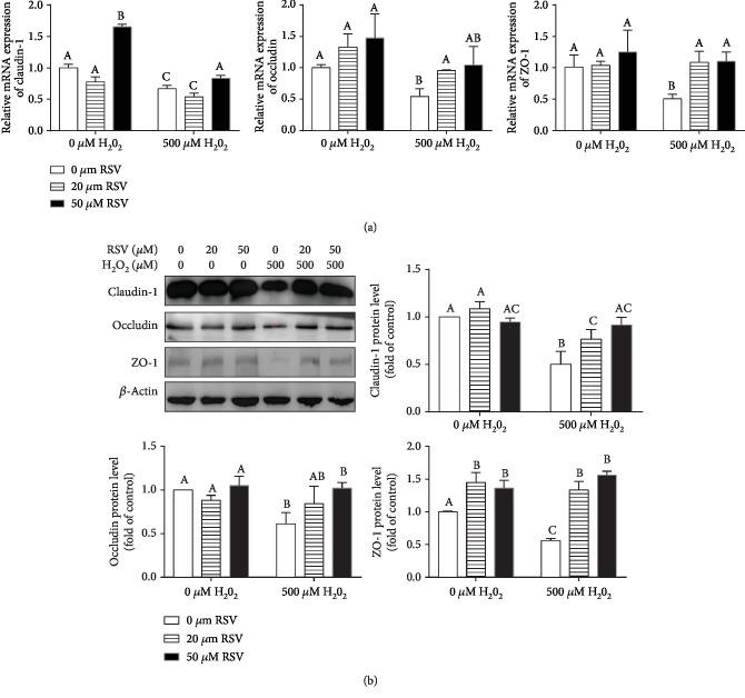 Effects of resveratrol and/or H 2 O 2 on the levels of TJ proteins. IPEC-J2 cells were pretreated with the indicated concentrations of RSV and then cocultured with 500 μ M H 2 O 2 for 4 hours. (a) The expression of claudin-1, occludin, and ZO-1 was detected by quantitative real-time PCR (qRT-PCR). Data are shown as ratios of abundance of target gene transcripts in the treated cells to those in the control cells after normalization to β -actin. (b) Protein levels of claudin-1, occludin, and ZO-1 were detected by Western blot with β -actin as the loading control. Values are the mean ± SE; n = 3. The columns with the same superscript capital letters and with different superscript capital letters mean no significant difference ( P > 0.05) and significant difference ( P
