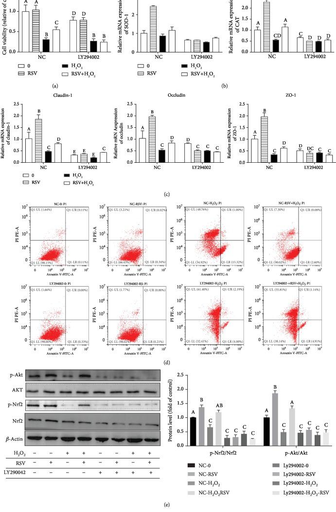 Effects of RSV and the selective inhibitor LY294002 on H 2 O 2 -induced cytotoxicity in IPEC-J2 cells. IPEC-J2 cells were pretreated with 25 μ M LY294002 for 2 h and then treated with 50 μ M RSV for 4 h before incubation with 500 μ M H 2 O 2 for 4 hours. (a) Cell viability was measured using the CCK-8 assay. Results are presented as the percentage of cell viability compared with the control (0 μ M). (b, c) The relative expression of SOD-1, CAT, claudin-1, occludin, and ZO-1 was detected by qRT-PCR. Data are shown as ratios of abundance of target gene transcripts in the treated cells to those in the control cells after normalization to β -actin. (d) The apoptotic cells were analyzed by flow cytometry using Annexin V-PI double staining. (e) Protein levels of Nrf2, Akt, p-Nrf2, and p-Akt were detected by Western blot with β -actin as the loading control. Values are the mean ± SE. The columns with the same superscript capital letters and with different superscript capital letters mean no significant difference ( P > 0.05) and significant difference ( P