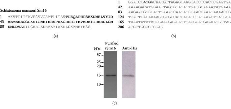 Purification of recombinant Sm16. (a) Amino acid sequence of Schistosoma mansoni Sm16 (GenBank: AAD26122.1 and WormBase ParaSite: Smp_341790). The signal peptide is underlined and the sequence in bold corresponds to amino acids 23 to 90. (b) Synthetic gene construction containing the DNA sequence corresponding to the region encoding the amino acids 23 to 90 with restriction enzyme sites BamH I and Xho I at the 5′ and 3′ ends, respectively, and the initiation codon ATG in bold. (c) 15% SDS-PAGE of purified rSm16 stained by Coomassie Blue R-250 and Western blot using monoclonal 6x-His-tag antibody. Molecular weight markers Dual Color (Bio-Rad) are indicated in kDa.