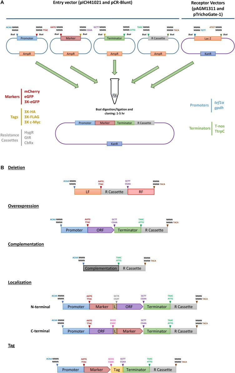 TrichoGate cloning system. Schematic representation of the TrichoGate cloning strategy to accomplish genomic modification in T. virens . (A) Implementation of TrichoGate cloning system using type II restriction enzyme ( Bsa I), target DNA sequences containing Bsa I sites in their flanking regions with unique four bases overhangs must be subcloned in linearized entry vectors (pICH41021 or pCR-Blunt) carrying the ampicillin (AmpR) or kanamycin resistance (KanR) gene for selection in E. coli , respectively. TrichoGate vectors were constructed using up to five entry vectors (pICH41021 or pCR-Blunt) and/or PCR products containing synthetic DNA molecules of interest (e.g., promoters, markers, ORFs, terminators, tags and resistance cassettes) and one of the receptor vectors (pAGM1311 or pTrichoGate-1) that carry the KanR gene for selection in E. coli . Bsa I restriction-ligation was carried out in one single microcentrifuge tube containing target DNA molecules for up to 5 h. (B) Examples of hypothetically generated vectors using Bsa I restriction/ligation reaction for functional gene analysis in T. virens (e.g., gene deletion, gene complementation, overexpression, localization and immunoprecipitation).