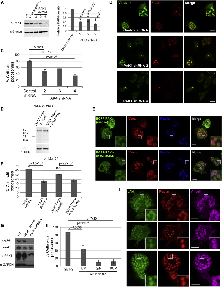 PAK4 Knockdown and Rescue Supports a Kinase-Dependent Role for PAK4 in Podosomes through the Activation of Akt (A) PAK4 shRNAs or scrambled control cells were probed for PAK4 expression. (B) PAK4 shRNA-expressing cells were seeded on <t>fibronectin</t> with TGF-β for 16 h, fixed, and stained for vinculin (green) and F-actin (red). (C) Percentage of cells with podosomes ( > 300 cells per cell line). (D) PAK4 knockdown cells (A) expressing EGFP-tagged shRNA-resistant PAK4: EGFP-PAK4 (rescue) or the kinase dead mutant PAK4: EGFP-PAK4r (K350,351M) were probed for PAK4 expression. (E) Confocal images of PAK4 rescue THP-1 cells. (F) Percentage of cells with podosomes. (G) Cells were probed for pAkt and PAK4. (H) THP-1 cells on fibronectin with TGF-β for 16 h were treated with indicated concentrations of Akt inhibitor for 4 h, fixed and stained for F-actin, and scored for podosomes. (I) Confocal images of THP-1 cells fixed and stained for pAkt, F-actin, and vinculin. Error bars = ± SEM and p values indicate significant differences between treated cells by one-way ANOVA. Scale bars in (B) and (E) = 10 μm; scale bars in (I) = 5 μm.