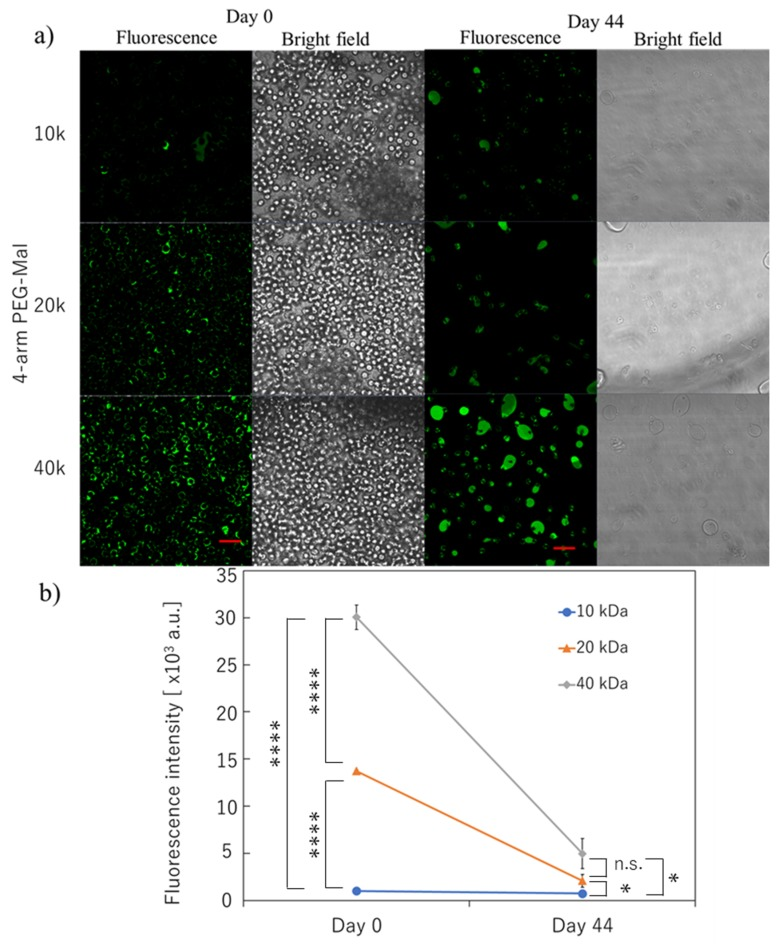 Microencapsulation of human erythrocytes with different 4-arm PEG-Mal. ( a ) Confocal microscopic images of microencapsulation of human erythrocytes with 4-arm PEG(10k, 20k, and 40k)-Mal. FITC-BSA-SH was used for the visualization of the polymer membrane. Scale bar: 20 µm. ( b ) Quantitative analysis of polymer membrane on human erythrocytes using flow cytometry at 0 and 44 days. Error bars indicate standard deviation; n = 3. * = p