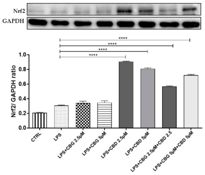 Western blot analysis for Nrf2 shows an increase of Nrf2 nuclear translocation in the groups treated with CBD alone at 2.5 and 5 µM doses and in combination with CBG at a 5 µM dose. **** p