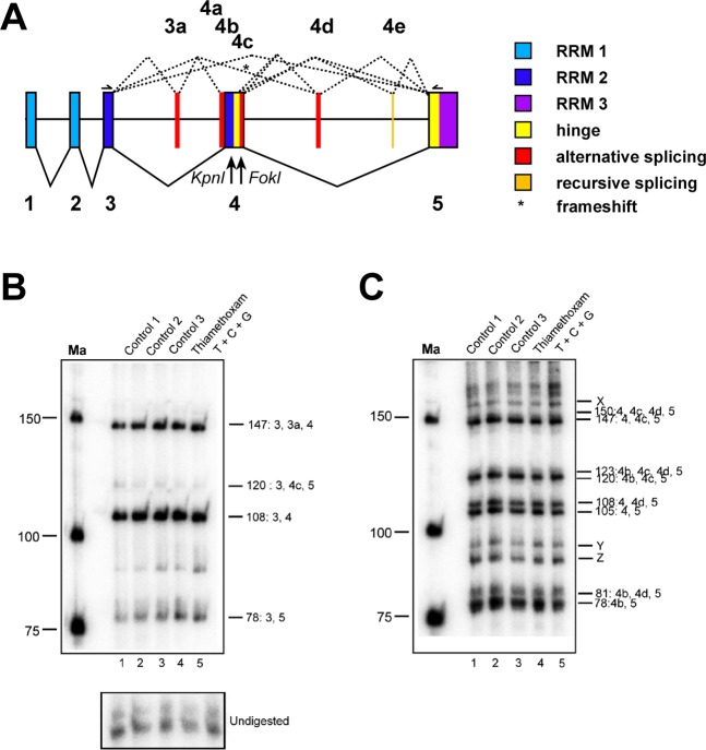 Apis mellifera elav alternative splicing in brains of worker bees is unaffected by thiamethoxan, carbendazim and glyphosate. ( A ) Gene structure of Apis mellifera elav depicting color-coded functional protein domains with constant exons (1–5, bottom, solid lines) and alternative splicing exons (3a and 4a–d, top, dashed lines). RNA Recognition Motiv 1 (RRM1): light blue, RRM2: dark blue, RRM3: purple, hinge region: red and alternatively spliced parts in red. Kpn I and Fok I restriction sites used to separate isoforms are indicated below the gene model. An asterisk indicates isoforms that encode truncated proteins by introducing a frameshift. ( B , C ) Denaturing polyacrylamide gels (6%) showing the alternative splicing pattern of elav by digestion of a 5′ ( B ) or 3′ ( C ) 32 P labeled RT-PCR product with Kpn I ( B ) and Fok I ( C ) in control bees dissected immediately after collection (Control 1), control bees fed with water and sucrose for 24 h (Control 2) and control bees injected with water (Control 3) compared to bees injected with thiamethoxam (1 µM) and bees injected with a mixture of thiamethoxam (1 µM, T), carbendazim (2 mM, C) and glyphosate (32 mM, G) 24 h prior dissection. Samples were run on 6% polyacrylamide gel. Ma: DNA marker. The undigested PCR product is shown at the bottom.