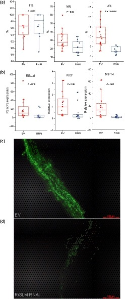 Host‐induced gene silencing of RiSLM ) reduces mycorrhization in Medicago truncatula . (a) Frequency (F%) remains the same, whereas mycorrhization intensity in the root (M%) and arbuscule abundance in the root (A%) are reduced in RiSLM ‐silenced roots. For the empty vector control (EV), 12 biological replicates were used. For RiSLM RNA interference (RNAi), 10 biological replicates were used. (b) Quantitative PCR analysis of control and RNAi roots showing RiSLM expression level relative to Rhizophagus irregularis elongation factor 1α ( RiEF ) and MtPT4 expression levels relative to Medicago elongation factor 1α ( MtEF ). Successful silencing of RiSLM (relative to RiEF ) reduces RiEF and MtPT4 expression (relative to MtEF ), indicating reduced mycorrhization and arbuscule abundance. Twelve replicates (individual transgenic roots) were used for EV. Eleven replicates were used for RNAi . Student's t ‐test P ‐values are indicated for (a) and (b). For all box plots, boxes represent interquartile range (IQR) and whiskers represent 1.5IQR. (c, d) Wheat germ agglutinin‐Alexa Fluor 488 staining of mycorrhization in (d) RiSLM ‐silenced roots and (c) control roots (c). Bars, 200 µm.