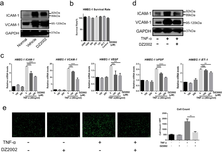 DZ2002 reduced ICAM-1 and VCAM-1 in vivo and in vitro. a Western blot of ICAM-1 and VCAM-1 in BLM-induced SSc mice skin (DZ2002 = 50 mg/kg). b Survival rate of HMEC-1 at different concentrations of DZ2002 treatment. c Evaluation of mRNA levels of molecules associated with the upregulation of endothelial adhesion molecules in HMEC-1 by quantitative real-time reverse transcription-PCR, such as ICAM-1, VCAM-1, VEGF, bFGF, and ET-1. d Western blot of ICAM-1 and VCAM-1 in the HMEC-1 cells (TNF-α = 40 ng/ml, DZ2002 = 200 μM). e Representative photomicrographs showing the stained THP-1 cells on HMEC-1 cell layer (× 40, scale bar = 100 μm). The HMEC-1 cells were stimulated with TNF-a (40 ng/ml) with or without DZ2002 (200 μM). After 6 h incubation, those stained THP-1 cells adhered on HMEC-1 cell layer were counted. Mean ± SEM. * P
