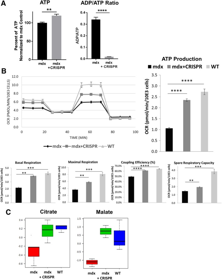 Dystrophin restoration improved mitochondrial function in mdx muscle progenitor cells (MPCs). (A): A bioluminescence assay was used to measure adenosine diphosphate (ADP) and adenosine triphosphate (ATP) levels (relative light units per well) in mdx and mdx + clustered regularly interspaced short palindromic repeats (CRISPR) cells. Intracellular ATP content was increased by 20% in dystrophin‐restored cells relative to mdx MPCs; **, p