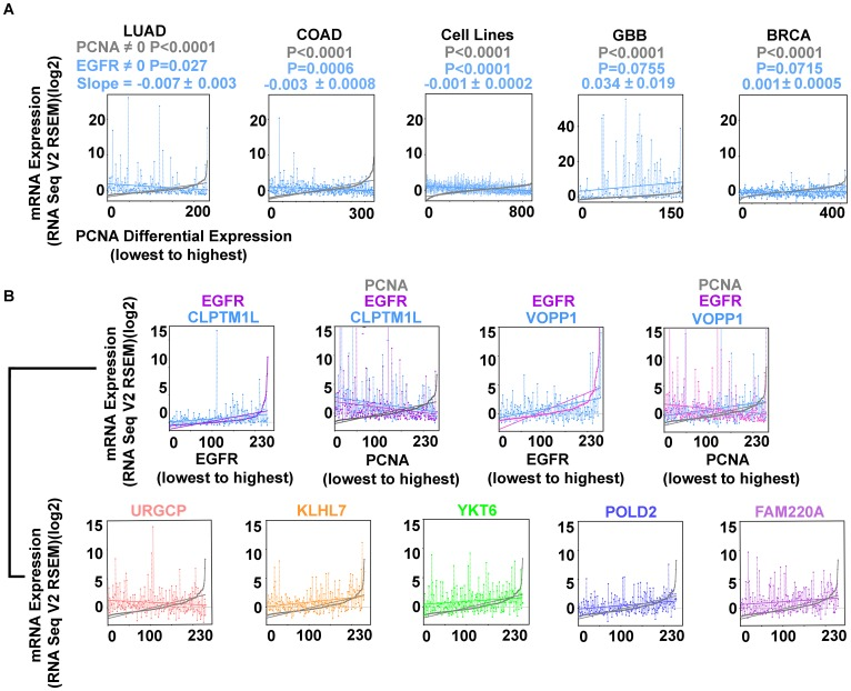Inverse correlation of <t>EGFR</t> and PCNA expression are found in LUAD, <t>COAD,</t> and cell lines from multiple tumor types (Cancer Cell Line Encyclopedia; (CCLE); n = 877; Supplementary Table 2) but not in glioblastoma (GBB) or breast cancer (BRCA). ( A ) EGFR ( blue ) and PCNA ( min-max ) curve ( grey ); LUAD, COAD, CCLE cell lines, GBB, and BRCA. ( B ) EGFR overexpression accompanies secondary gene overexpression that can vary proportionally with proliferation. EGFR ( magenta ), CLPTM1L ( blue ) cases arranged by EGFR expression ( min-max ) illustrating direct proportion; EGFR ( magenta ) CLPTM1L ( blue ) and PCNA ( grey ) cases rearranged by PCNA expression ( min-max ) illustrating indirect proportion to proliferation. EGFR ( magenta ), VOPP1 ( blue ) arranged by EGFR expression ( min-max ); EGFR ( magenta ), VOPP1 ( blue ), and PCNA ( grey ) cases rearranged by PCNA expression ( min-max ) illustrating simultaneous VOPP1 direct proportion and EGFR indirect proportion to proliferation. URGCP ( pink ), KLHL7 ( orange ), YKT6 ( green ), POLD2 ( purple ), FAM220A ( magenta ), all arranged by PCNA expression ( min-max ) ( grey ).