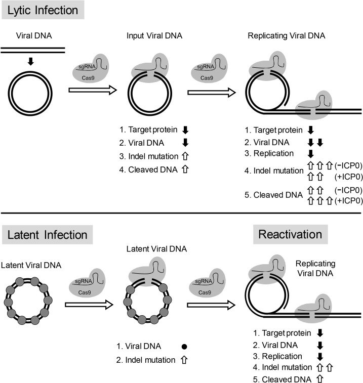 Model for CRISPR/Cas9 mediated inhibition of HSV lytic replication, editing of latent HSV genomes, and inhibition of reactivation of latent HSV. Lytic infection : Cas9/sgRNA cleaves input viral DNA. In the absence of viral DNA replication, either prior to the onset of viral replication or in the presence of PAA, the expression of Cas9/sgRNA targeting viral gene encoded protein is reduced and the input viral DNAs decrease. Cas9/sgRNA induces low levels of indel mutations at the sgRNA target site of the input viral DNA, and cleaved input viral DNA is accumulated. During viral DNA replication, expression of Cas9/sgRNA targeting the viral gene encoded protein is reduced, non-mutated template and its replicated viral DNAs are targeted by SaCas9/sgRNA, which results in a decrease of viral DNA, an increase in indel mutations and accumulation of cleaved viral DNA. Viral protein ICP0 contributes to Cas9/sgRNA-mediated editing/cleavage by removing histones and preventing DNA repair. Quiescent infection : Cas9/sgRNA induces indel mutations to viral DNA without significant change in latent viral DNA levels. (⬤: nucleosome) Reactivation : Cas9/sgRNA induces more indel mutations in non-mutated viral DNA and accumulation of cleaved viral DNA, which results in decrease of the expression of SaCas9/sgRNA targeted gene encoded protein, viral DNA, and viral replication. (⇧: increase, ⬇: decrease, ●: no change).