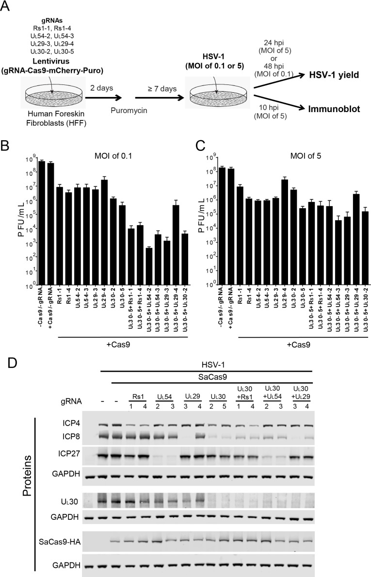Effect of CRISPR-Cas9 on HSV-1 lytic infection. ( A ) Experimental scheme of SaCas9/sgRNA-mediated inhibition of HSV lytic infection. ( B and C ) HFFs transduced with lentivirus expressing SaCas9 and sgRNAs were infected with HSV-1 at an MOI of 0.1 ( C ) or 5 ( D ) and harvested at 48 hpi or 24 hpi, respectively. Viral yields were determined by plaque assays. The histogram shows the mean values and standard deviations of biological replicates at an MOI of 0.1 (N = 3) or at an MOI of 5 (N = 4). All the sgRNA added conditions showed statistical significance compared to +Cas9 /-gRNA (one-way ANOVA with Dunnett's multiple comparisons test, p