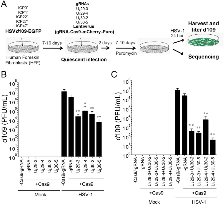 CRISPR/Cas9-induced mutagenesis of quiescent d 109 genomes and effect on reactivation. ( A ) Experimental scheme of SaCas9/sgRNA-mediated inhibition of reactivation of quiescent d 109 genomes in HFFs. HFFs were infected with HSV-1 d 109 virus to establish quiescent infection for 7–10 d and transduced with lentivirus expressing SaCas9 and sgRNAs for 7–10 d. ( B and C ) HFF were infected with d 109 to establish quiescent infection for 7–10 d and transduced with lentivirus expressing SaCas9 and sgRNAs for 7–10 d. To reactivate quiescent d 109 genomes, HFFs were superinfected with WT HSV-1 at an MOI of 5 and harvested at 24 hpi. GFP-positive viral yields were determined by plaque assays on FO6 and V27 cells. The histogram shows the mean values and standard deviations of biological replicates (B and C: N = 5 and N = 7 respectively). All the sgRNA added conditions showed statistical significance compared to +Cas9 /-gRNA (Ratio paired t test, *p