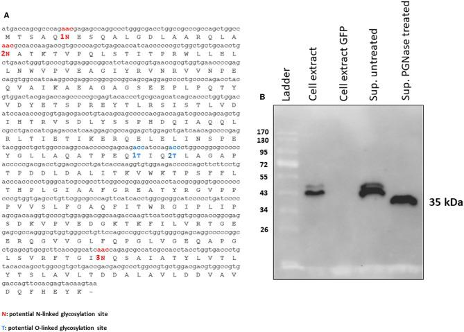 (A) MMP N-linked (1N, 2N, and 3N in red) and O-linked (1T and 2T in blue) predicted glycosylation sites. (B) Western immunoblot of tPA-MMP secreted protein treated (Sup PNGase treated) or untreated (Sup untreated) with PGNase F. Cell extracts from pEF1α-tPA-MMP (Cell extract) and pEGFP-C1 (Cell extract GFP) transfected HEK 293T cells were used as positive and negative controls, respectively.
