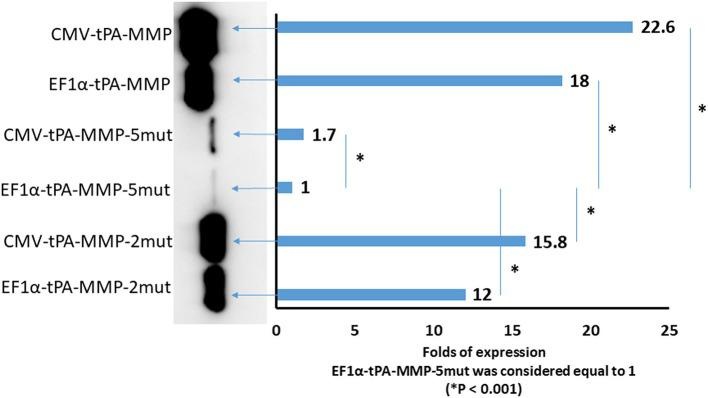 Quantitative Western immunoblot of serum-free medium containing secreted tPA-MMP-5mut, tPA-MMP-2mut, and tPA-MMP from pCMV-tPA-MMP-5mut, pEF1α-tPA-MMP-5mut, pCMV-tPA-MMP-2mut, pEF1α-tPA-MMP-2mut, pCMV-tPA-MMP, and pEF1α-tPA-MMP transfected HEK 293T cells at 48 h post transfection. Each lane was loaded with 15 μl of serum-free medium supernatant. The same number of HEK 293T cells were transfected with the same amount of each DNA plasmid with the same efficiency of transfection (100%), as determined by co-transfection with pEGFP-C1. Band intensity was quantified using densitometry (ChemiDoc; MPIMAGING SYSTEM, LAB SOFTWARE, BioRad), and displayed using a bar graph. Data were normalized as folds of increased secretion, where pEF1α-tPA-MMP-5mut signal was considered equal to 1. The experiment was repeated three times, and statistical significance ( P