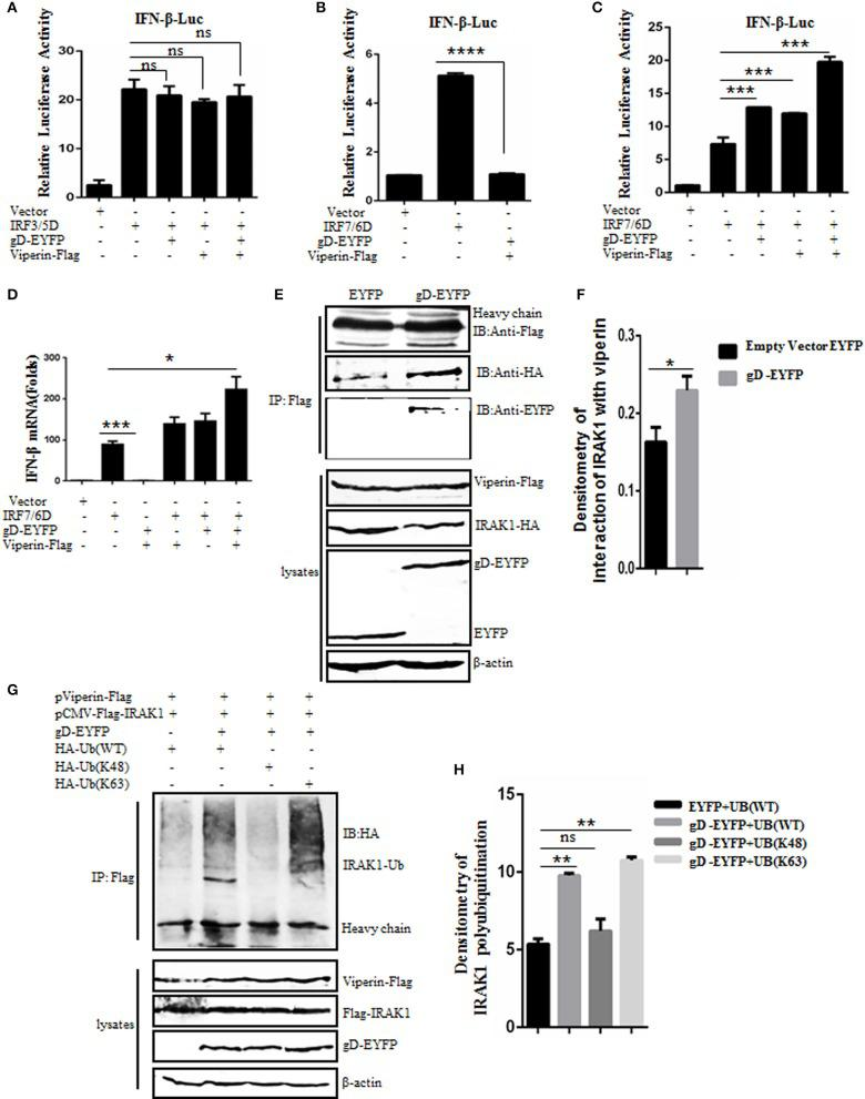 gD facilitates IRF7-mediated <t>IFN-β</t> promoter activity through enhancing the interaction of viperin with IRAK1 and increasing K63-linked polyubiquitination of IRAK1. (A–C) HEK293T cells were co-transfected with IFN-β-Luc reporter, pRL-TK and gD-EYFP or pViperin-Flag or plasmids combination of gD-EYFP and pViperin-Flag, with or without IRF3/5D (A) or IRF7/6D (B,C) expression plasmid. Twenty-four hours post-transfection, luciferase activity was analyzed. (D) HEK293T cells were co-transfected with the indicated plasmids as described in (C) , except for the reporter plasmids. Twenty-four hours post-transfection, <t>RT-qPCR</t> was performed to analyze the relative mRNA expression level of IFN-β. Data were expressed as means ± SD from three independent experiments. (E,F) HEK293T cells co-transfected with expression plasmids pViperin-Flag, IRAK1-HA and gD-EYFP, or EYFP control construct were harvested and immunoprecipitated with mouse anti-Flag mAb or non-specific mouse IgG, and IB analysis was probed with the indicated antibodies. Densitometry of the IRAK1 and viperin interaction bands were normalized to the loading control β-actin. (G,H) HA-tagged Ub (WT), Ub (K48), or Ub (K63) expression plasmid was co-transfected with plasmids combination of pCMV-Flag-IRAK1 and pViperin-Flag into HEK293T cells, with or without the presence of gD-EYFP. Twenty-four hours post-transfection, cells were collected, followed by Co-IP with mouse anti-Flag mAb and IB analysis with mouse anti-HA mAb. Densitometry of IRAK1 polyubiquitination bands were normalized to the loading control β-actin. Data were expressed as means ± SD from three independent experiments. Statistical analyses were performed using one-way ANOVA, except (F) using student t test. * P