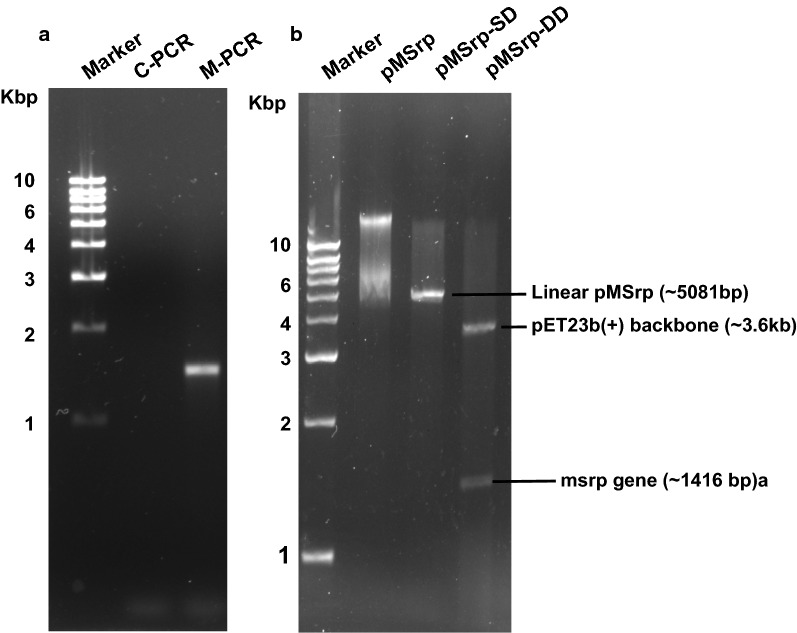 Recombinant cloning and development of mature serratiopeptidase specific expression construct. a Representative Agarose gel (1.2%) showing amplification of ~ 1500 bp gene fragment, particular to the size of mature serratiopeptidase gene (M-PCR). The gene cloned in the pET23b(+) vector having Amp r for selection. When digested with single restriction enzyme; i.e. Nde I and two different enzymes; i.e., Nde I and Xho I. b Representative agarose gel (1.2%) shows a linear fragment (pMSrp-SD) of ~ 5000 bp and two fragments equal to the size of plasmid backbone ~ 3600 bp and insert gene (MSrp) ~ 1500 bp in Lane (pMSrp-DD) respectively confirming the successful insertion/ligation of gene and construction of recombinant plasmid