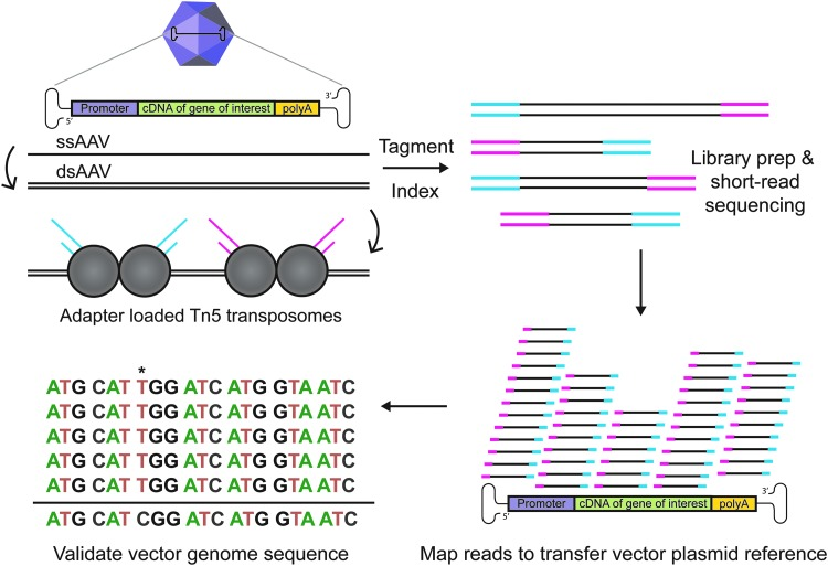Overview of Fast-Seq, a Tn5-based packaged ssAAV genome sequencing method. Preparations of rAAV undergo ssDNA extraction, second-strand synthesis to generate dsDNA, tagmentation with adapter-loaded Tn5 transposomes, indexing, QC validation, short-read sequencing on Illumina MiSeq, mapping reads to the transfer vector plasmid used to generate the input rAAV, and sequence validation of the packaged genome. An example packaged genome mutation (*) is shown at position 7. dsAAV, double-stranded AAV; dsDNA, double-stranded DNA; rAAV, recombinant AAV; ssAAV, single-stranded adeno-associated virus; Tn5, transposase.