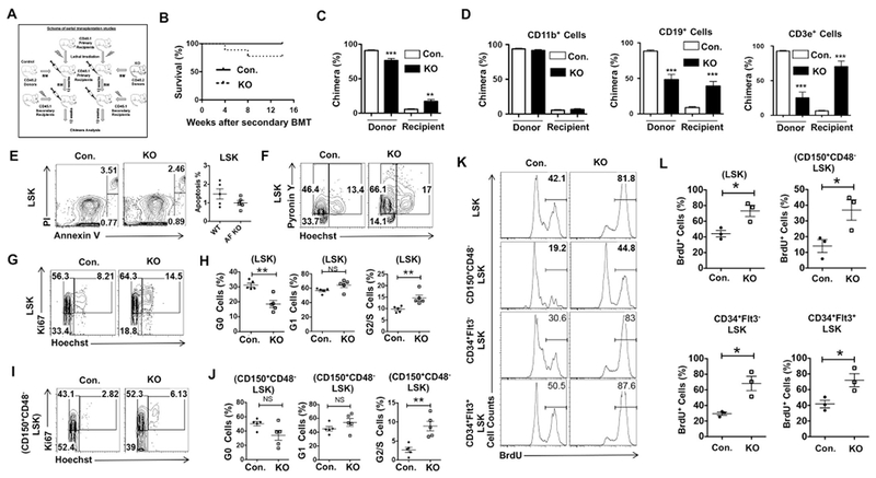 Loss of A20 in MPPs leads to loss of quiescence of HSPCs. (A) Schematic of serial transplantation experiments. (B) Survival curve of lethally-irradiated WT congenic (CD45.1+) secondary recipients (n = 9). Total BM cells from A20F/FFlt3cre/+ and control groups were injected into lethally irradiated WT congenic primary recipients (n = 10). After 12 weeks of transplantation primary recipients were sacrificed and their BM cells were injected into lethally irradiated WT congenic secondary recipients (n = 9). (C) Frequencies of donor (CD45.2+)-derived cells in the peripheral blood of secondary recipients after 12 weeks of BMT (n = 7). (D) Frequencies of donor (CD45.2+) and recipient (CD45.1+) derived CD11b+ , CD19+ and CD3e+ cells in the peripheral blood of secondary recipients at 12 weeks of transplantation (n = 7). (E) Apoptosis assay of LSK cells from the BM of 8 weeks old A20F/FFlt3cre/+ and control mice (n = 5). Representative FACS plots (left) and dot plots (right). (F) Cell cycle analysis (Hoechst and Pyronin Y) of LSK cells from the BM of 8 weeks old A20F/FFlt3cre/+ and control mice. (G–J) Cell cycle analysis (Hoechst and Ki67) of LSK cells (G and H) and CD150+ CD48− LSK cells (I and J) from the BM of 8 weeks old A20F/FFlt3cre/+ and control mice. Representative FACS plots (G and I) and dot plots (H and J) (n = 5). (K and L) BrdU assay of HSPCs from the BM of 8 weeks old A20F/FFlt3cre/+ and control mice (n = 3). Representative FACS plots (K) and dot plots (L). All data represent mean ± SEM. Two-tailed student's t -tests were used to assess statistical significance (*P
