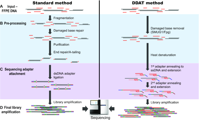 Work flow of the standard versus DDAT library preparation method. To generate WGS libraries from low-input, degraded DNA, the complete protocol starts with the addition of enzymes SMUG1 (single-strand-selective monofunctional uracil-DNA glycosylase) and Fpg (formamidopyrimidine [fapy]-DNA glycosylase) to the input DNA ( A and B ) that remove damaged bases such as deoxyuracil and 8-oxoguanine, caused by the FFPE treatment. A short denaturation step (B) is followed by the first strand synthesis; during this step, the genomic DNA, primers and Klenow fragment (3′ → 5′ exo-) are gradually heated from 4 to 37°C with a slow ramping speed of 4°C/min, which is an essential reaction condition (see 'Discussion' section), before incubation at 37°C for a further 1.5 h ( C ). The primers contain nine random nucleotides from the 3′-end, in addition to the standard Illumina adaptor sequence, and will anneal to complementary DNA sequences present in the DNA sample. After the first strand synthesis, any remaining primers or short ssDNA fragments are digested with exonuclease I and the dsDNA is purified with AMPure XP beads. Next, the dsDNA is denatured to carry out the second strand synthesis using a second adaptor primer also containing nine random nucleotides, with the same conditions as the first synthesis, followed by bead purification (C). Finally, 10 PCR cycles are carried out using standard Illumina p5 and p7 indexed primers ( D ). The library is purified and assessed using standard quality control methods.