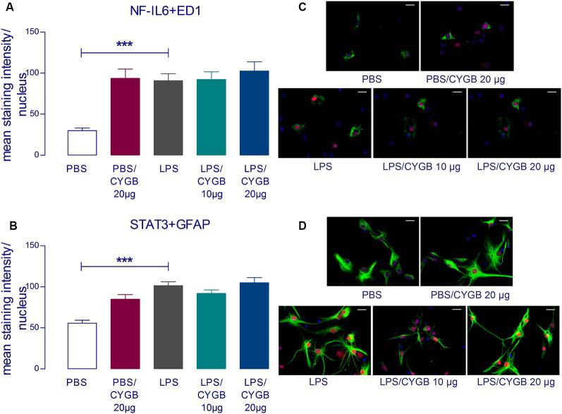Cygb does not affect the nuclear NF-IL6 and STAT3 immunoreactivity in microglia and astrocytes, respectively. Immunocytochemistry was proceeded in coverslips using the NF-IL6 antiserum in ED1-positive microglia (A,C) and STAT3 antiserum in GFAP-positive astrocytes (B,D) . The immunoreactivity was enhanced in the cells treated with LPS (10 μg/ml) compared to the PBS group and the co-treatment with Cygb (10 μg/ml or 20 μg/ml) does not affect this. In panel (C) , triple labeling for ED-1 (in green), NF-IL-6 (in red) and cellular nuclei by DAPI (in blue) allowed localization of NF-IL6 immunoreactivity in the nuclei of microglial cells. In panel (D) , triple labeling for GFAP (in green), STAT3 (in red) and cellular nuclei by DAPI (in blue) allowed localization of STAT3 immunoreactivity in the nuclei of astrocytes. Secondary antisera employed were coupled to fluorophores Alexa-488 (green label) and Cy3 (red label). Scale bars: 20 μm. The average intensities of the signals within the active region of interest (here: cell nuclei) were expressed as gray values. Columns represent means of the intensities measured in treated cultures derived from two independent preparations (*** p
