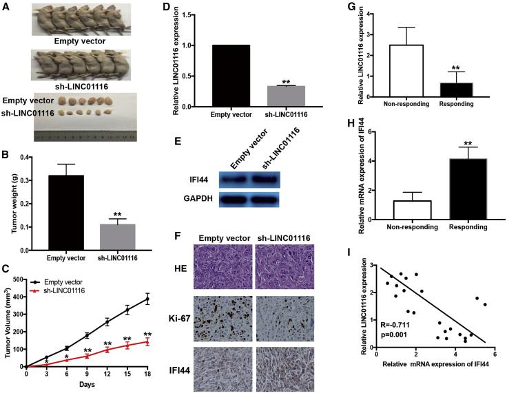 Downregulation of LINC01116 Reduces the In Vivo Sensitivity of PC9/R Cells to Gefitinib and the Expression of LINC01116 in LA Tissues Was Negatively Correlated with IFI44 Mice were treated with gefitinib (10.0 mg/kg) or with 1% Tween 80. (A) Representative features of tumors 18 days after inoculation using PC9/R/sh-LINC01116 or PC9/R/Empty vector cells treated with 1% Tween 80 or gefitinib. (B and C) Tumor volume and weight at day 18 after the inoculation. (D) Quantitative real-time PCR detection of relative LINC01116 expression in tumors developed from PC9/R/shRNA-LINC01116 or PC9/R/Empty vector cells treated with 1% Tween 80 or gefitinib. (E) Western blotting detection of IFI44 protein expression in tumors developed from PC9/R/shRNA-LINC01116 or PC9/R/Empty vector cells treated with 1% Tween 80 or gefitinib. (F) Immunostaining of IFI44 and ki-67 protein expression in tumors developed from PC9/R/shRNA-LINC01116 or PC9/R/Empty vector cells treated with 1% Tween 80 or gefitinib. Upper, H E staining. Intermediate and lower, immunostaining. Bars, 100 μm. (G) quantitative real-time PCR detection of relative LINC01116 expression in responding (n = 11) and non-responding (n = 14) LA tissues (p
