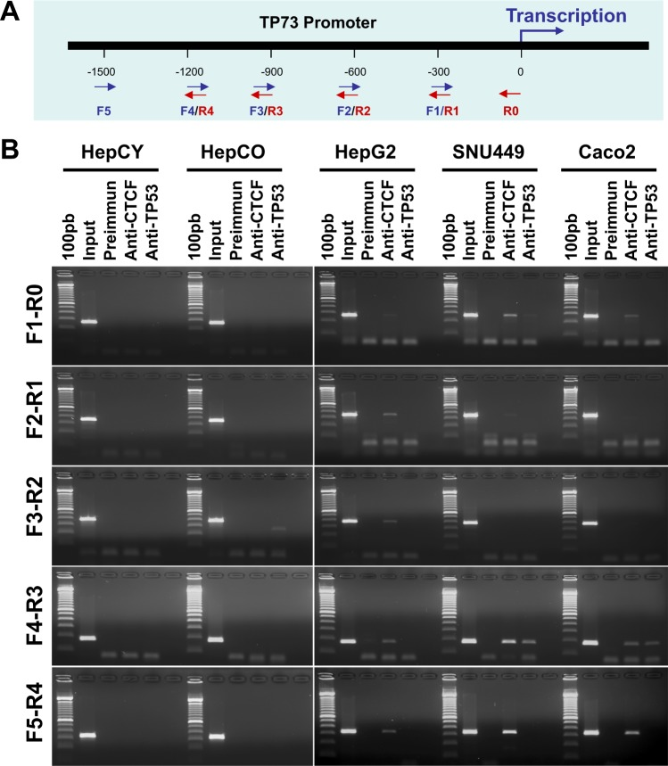 Role of TP53 and CTCF in regulation of TP73 gene expression. ( A ) Ideogram representing primers used in this ChIP assay for TP73 promoter. ( B ) Regulation of TP73 gene expression in normal human liver stem cells (HepCY HepCO) and HCC GI cancer cell lines by ChIP assay. These results were produced from triplicate experiments. Note: The row of bands representing the expression of each gene and separated by white spaces as shown in the gels displayed in panel B are cropped from full-length gels of the corresponding genes . The same exposures were made for each gel . The original gels for each figure are shown in the Supplementary Information File .
