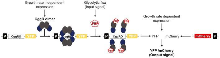 Illustration of the biosensor concept to measure glycolytic fluxes in single S. cerevisiae cells Expression of the bacterial transcriptional repressor CggR at constant levels, i.e., independent of growth rate and substrates. Binding of CggR as a dimer of dimers to the operator (CggRO) of the synthetic cis‐regulatory region, forming the CggR–DNA complex repressing transcription. At high glycolytic fluxes, fructose‐1,6‐bisphosphate (FBP) levels are high and FBP binds to CggR disrupting the dimer–dimer contacts, which induces a conformational change in the repressor, such that transcription of the reporter gene (YFP) can occur. The binding of FBP to CggR and consequent transcription is dependent on the FBP concentration, which correlates with glycolytic flux. The activity of the glycolytic flux biosensor is measured by quantifying YFP expression. YFP expression levels are normalized through a second reporter, mCherry, under the control of TEF1 mutant 8 promoter (P TEFmut8 ), to control for global variation in protein expression activity.