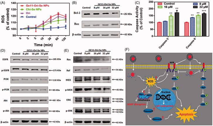 Activation of mitochondria-dependent apoptosis pathway and inhibition of EGFR-mediated PI3K/AKT and Ras/Raf/MEK/ERK pathways by GE11-Ori-Se NPs. (A) Effects of GE11-Ori-Se NPs, and the same dosage of oridonin or Chi-Se NPs on the production of ROS in KYSE-150 cells, n = 3. (B) Western blot analysis for the expression of Bcl-2 and Bax in KYSE-150 cells after GE11-Ori-Se NPs treatment. β-Actin was used as loading control. (C) Effects of GE11-Ori-Se NPs on the caspase-3 and caspase-9 activity in KYSE-150 cells, n = 3,** p