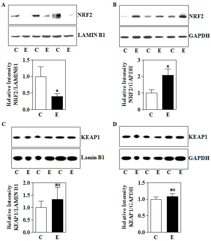 Effect of intrauterine alcohol exposure on NRF2 and KEAP1 protein expression. ( A ) A representative immunoblot image detecting placental NRF2 and LAMIN B1 protein expression in nuclear fraction (upper panel) and its quantification (bottom panel) from air (C) and IEV (E) exposed rats (hours) (total n = 12; n = 4 each from 3 different litters); ( B ) immunodetection of placental NRF2 and GAPDH protein in the cytosol of air (C) and IEV (E) exposed pregnant rats measured by Western blotting (upper panel) and the corresponding quantification of NRF2 protein levels normalized to the reference protein, GAPDH (bottom panel) (total n = 12; n = 4 each from 3 different litters); ( C ) Western blot image of KEAP1 and LAMIN B1 protein in placenta obtained from air (C) or vapor based ethanol (IEV)-exposed pregnant dams (upper panel) and the image densities of KEAP1 relative to LAMIN B1 (bottom panel) (total n = 12; n = 4 each from 3 different litters); ( D ) representative immunoblots demonstrating the expression of KEAP1 protein, with GAPDH as a loading control in placenta of control and intrauterine alcohol-exposed pregnant rats (upper panel) and the quantification of immunoblots of KEAP1 normalized to GAPDH (bottom panel). Values represent the mean ± SEM. * p