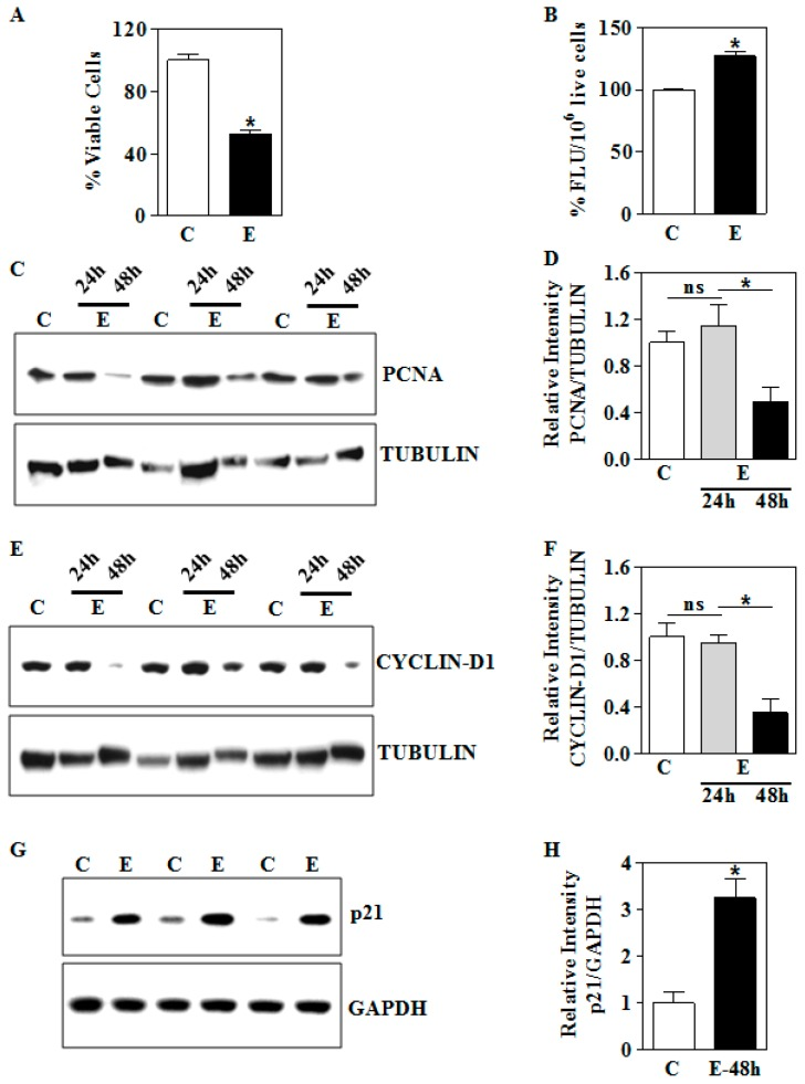 In vitro ethanol effects on the viability and expression of growth-related proteins in HTR8/sv neo trophoblasts. ( A ) E-treatment at a concentration of 4 mg/mL of E was done for 48 h. The trophoblasts cell viability was measured using MTT assay and shown as percentage viable cells; ( B ) effect of 48 h E on intracellular ROS level measured by fluorometry after DCF-DA treatment. The results are expressed as percentage fluorescence units (FLU) per the cell number; ( C ) equal amounts of proteins from E-treated trophoblasts at the indicated time points were resolved by SDS-PAGE and subjected to immunoblot directed against PCNA and a representative blots are shown; ( D ) graphical representation of the quantification of PCNA normalized to TUBULIN expression; ( E ) representative immunoblot for CYLCIN-D1 protein expression following E exposure; ( F ) semi-quantitative analysis of CYCLIN-D1 and TUBULIN ratios of experiments from ( E ); ( G ) immunoblot analysis for p21 protein expression following 48 h E exposure of trophoblasts and GAPDH blots served as loading control; ( H ) the densitometric quantification of p21 normalized to GAPDH levels. Values represent the mean ± SEM from n = 6. * p
