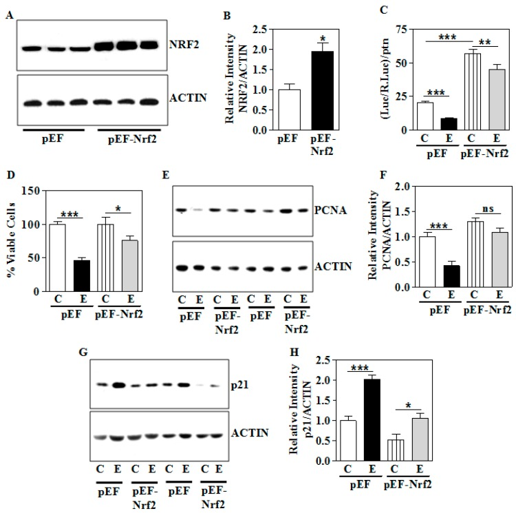 Effect of overexpression of Nrf2 on the E-induced dysregulation of NRF2, growth modulators, and cell proliferation. The E exposure was performed as in Section 2.2 . ( A ) The presence of overexpressed NRF2 was verified by immunoblotting in the WCE (Lanes 1–3: Empty vector; Lanes 4–6: Nrf2 cDNA); ( B ) densitometric analysis of NRF2 protein normalized to ACTIN after Nrf2 overexpression; ( C ) luciferase activity of the NRF2-responsive repeats of antioxidant responsive element in cells co-transfected with either empty or Nrf2 construct as in Section 2.4 and treated with E for 48 h as in Section 2.2 . The values shown indicate the ratio of the luciferase activities normalized to renilla and protein; ( D ) transfection was performed as in ( C ) and MTT assay was performed as in Section 2.10 and the results are expressed as percentage change from control; ( E ) Western blots with anti-PCNA on lysates of empty vector (pEF) or Nrf2 cDNA (pEF- Nrf2 ) overexpressed human HTR8/sv neo trophoblasts. Anti-ACTIN was used as a loading control; ( F ) relative levels of the PCNA normalized to ACTIN quantified by NIH Image J analysis; ( G ) Gel images showing p21 protein expression and ACTIN as a loading control in the empty vector (pEF) or Nrf2 cDNA (pEF- Nrf2 ) overexpressed human trophoblasts; ( H ) Quantification of p21 band intensity normalized to ACTIN intensity from Panel E. Values represent the mean ± SEM from n = 6 ( A ), ( E ), ( G ) and n = 12 ( C ) and ( D ). * p