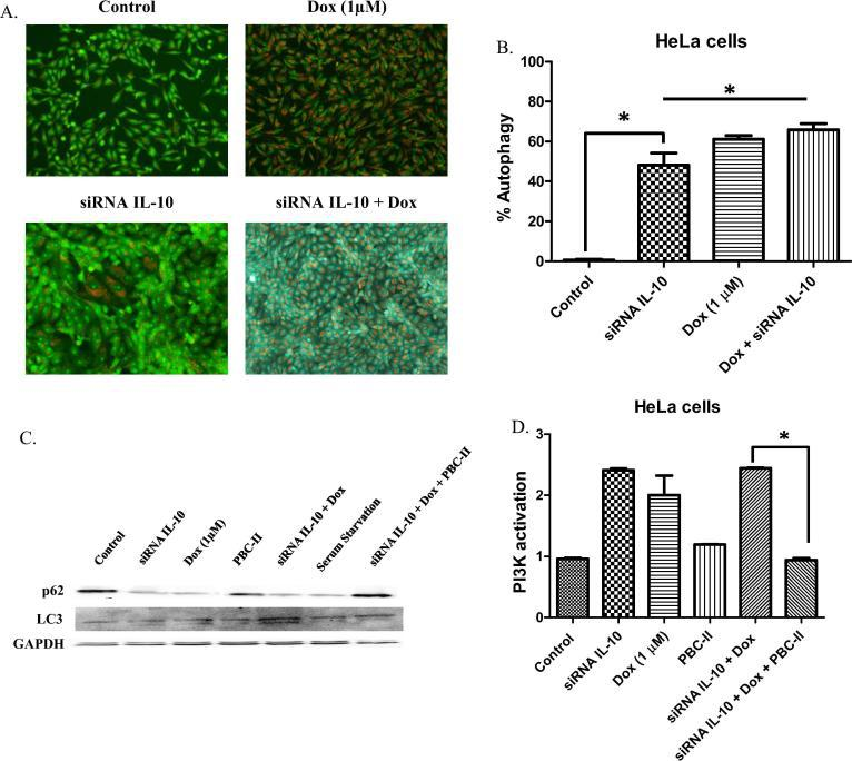 PBC-II inhibits therapy-induced autophagy in HeLa ovarian carcinoma cells. A. HeLa cells were treated with siRNA IL-10 and 1 µM doxorubicin for 1 day. Cells were then harvested and centrifuged at 1500 rpm. Acridine orange was diluted in PBS (1:10000) and was then added to the cells for staining. The extent of autophagy was counted based on the number of cell population in quadrants Q2 and Q4 from our raw data. This experiment was performed three times (*p